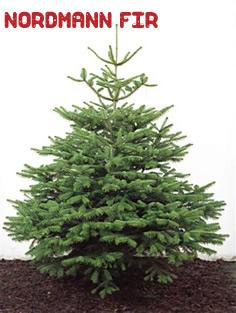 Nordmann Fir Christmas Tree