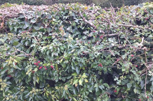 Hedge cut after using Gtech HT05