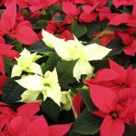 How To Look After Your Christmas Poinsettia