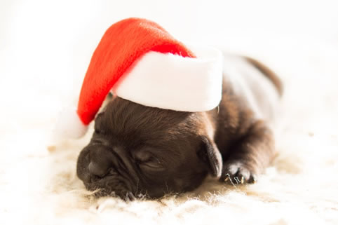 Pug at Christmas sleeping