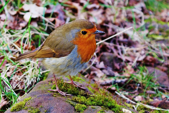 Robin outside