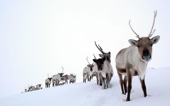 The Cairngorm Reindeer Centre - Reindeer in the snow