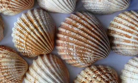 Seashells to paint