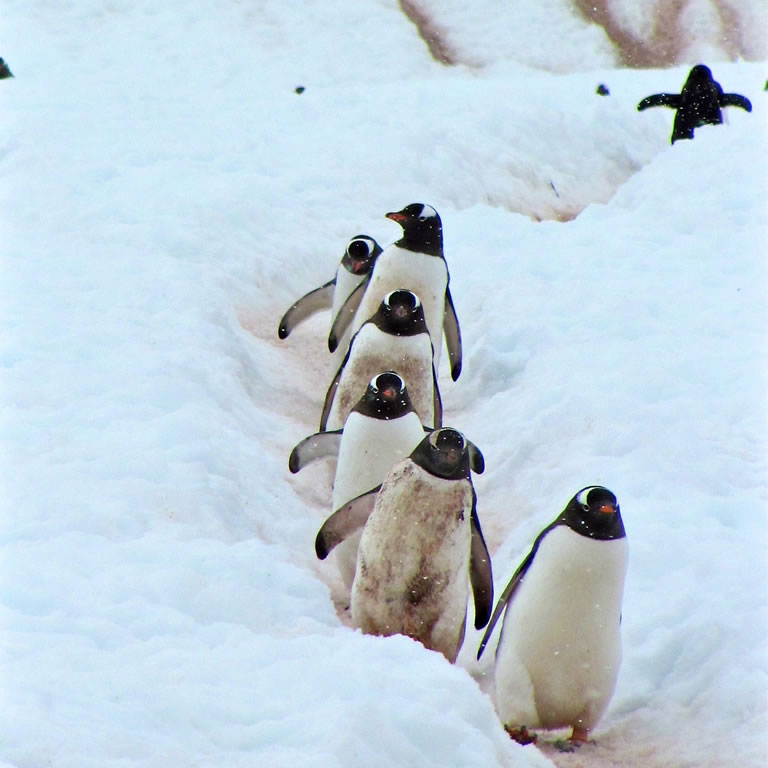 Penguins walking in the snow