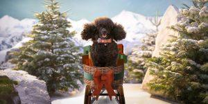 Image Of Freddie The Poodle Dobbies Christmas Advert 2020