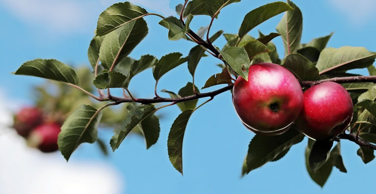 Image of apple trees