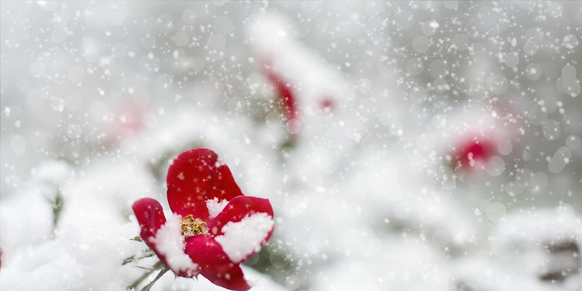 Image of winter roses